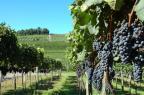Vindima é oportunidade de viver a cultura da uva em Bento Gonçalves Fabiano Mazzotti/Divulgação