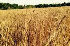Redução de custos no cultivo de trigo será palavra-chave Paulo Pires/Arquivo pessoal