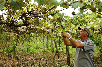 Produtor garante que vinho feito no litoral tem sabor diferenciado Carlos Macedo/Agencia RBS