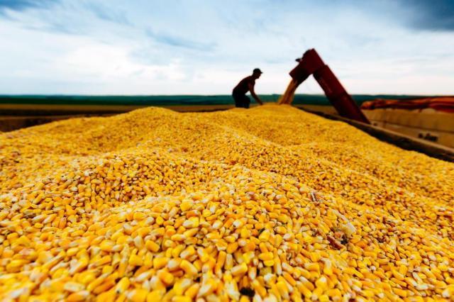 Leilão de milho no dia 23 para aumentar oferta Omar Freitas/Agencia RBS