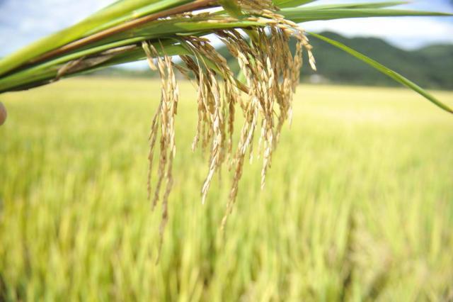 Risco de desabastecimento de arroz é descartado Gilmar de Souza/Agencia RBS