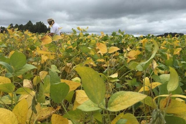 Expectativa bastante favorável para a colheita de soja no RS Joana Colussi/Agencia RBS