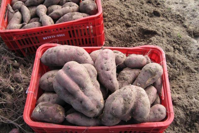 Pesquisadores prometem batatas mais produtivas Luis Suita/Divulgação Embrapa