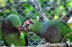 Censo internacional registra 4 mil papagaios-de-peito-roxo no mundo, espécie ameaçada de extinção Vanessa Kanaan/Divulgação