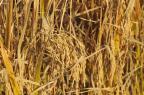Cobrança de ICMS sobre arroz causa polêmica Jean Pimentel/Agencia RBS