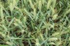 Bacteriose atinge lavouras de trigo Divulgação/Biotrigo