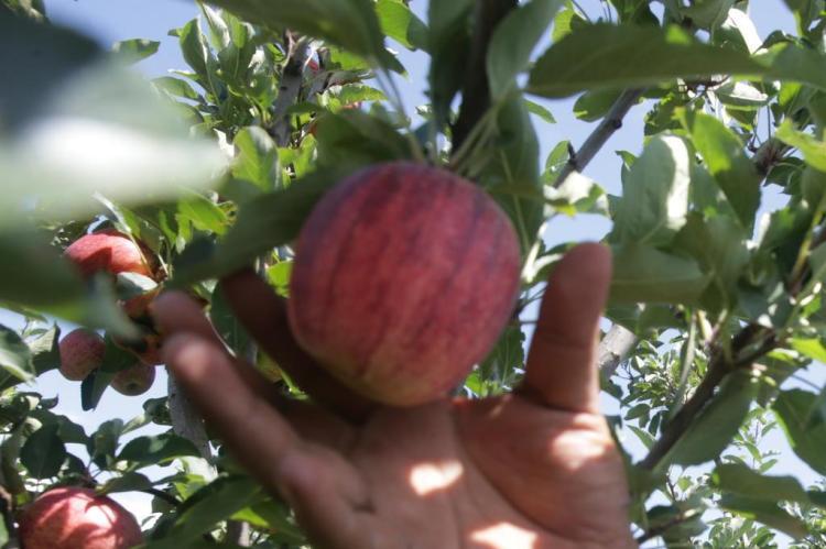 Índia autoriza a importação de maçã por meio de tratamento a frio no pré-embarque e em trânsito Lauro Alves/Agencia RBS