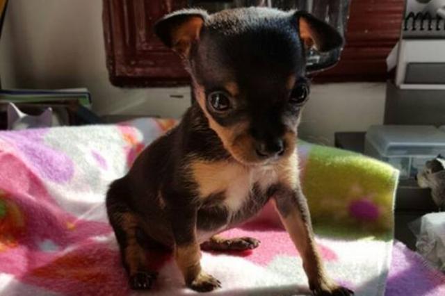 Campanha arrecada R$ 15 mil e ajuda cachorrinho que foi mutilado para parecer fêmea Facebook / Reprodução/Reprodução