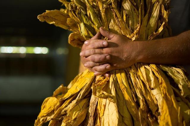 Futuro da produção de tabaco em jogo na COP7 a partir de hoje Cesar Lopes/Especial