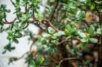 Cultive suculentas medicinais Omar Freitas/Agencia RBS