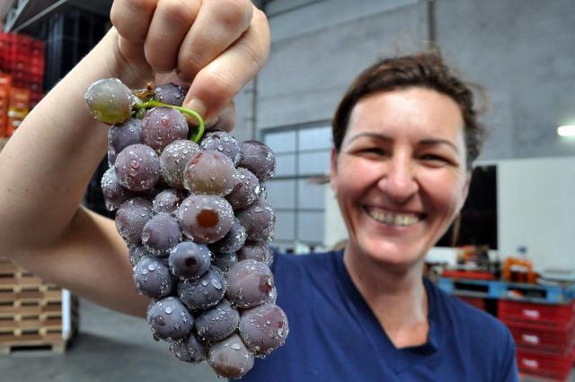 Agricultores esperam recuperação de 80% na produção de uvas em SC Caio Marcelo/especial