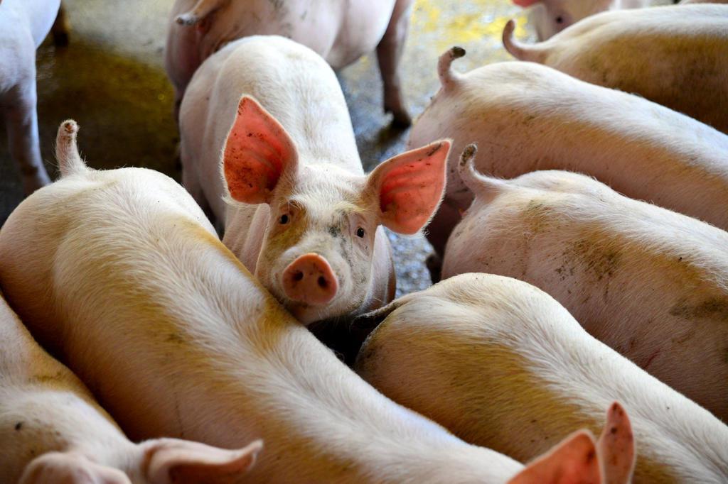 Produtores de suínos cobram prorrogação de decreto que reduz ICMS