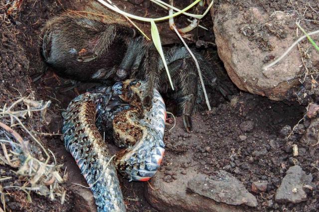 Alunos da UFSM fazem foto inédita de tarântula devorando uma cobra Gabriela Franzoi Dri/Divulgação
