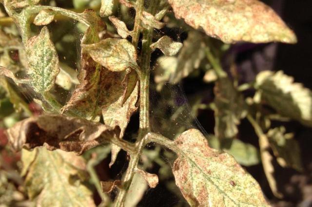 Como combater insetos que atacam tomateiro? Rosângela Loeblein/Arquivo Pessoal
