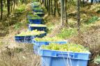 Cooperativa vinícola da Serra tem maior processamento em 30 anos Maiquel Vignatti/Divulgação Vinícola Garibaldi