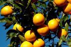 Expectativa de colheita de 433 mil toneladas de citros no RS Fernando Dias/Divulgação Seapi