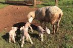 É comum a ovelha rejeitar cordeiros gêmeos ou trigêmeos? O que fazer para evitar este problema? élvio rossi/arquivo pessoal