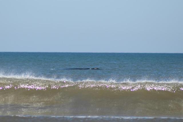 Baleias-francas são avistadas no litoral gaúcho Logan Backes/Especial