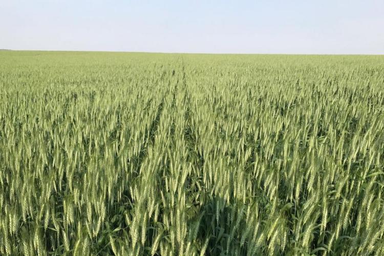 Tamanho da safra de trigo no Rio Grande do Sul ainda é incerto Carlos Pires/Arquivo pessoal