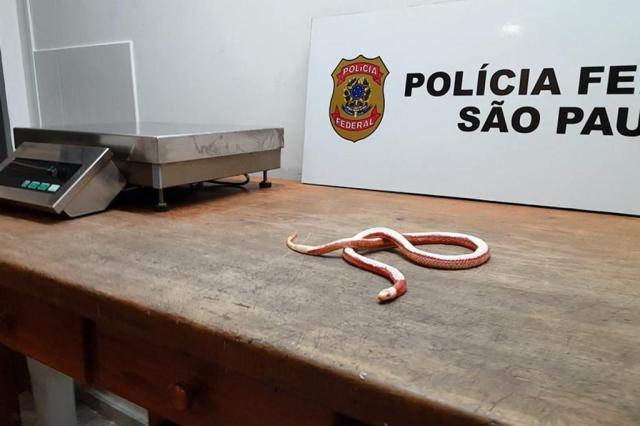 PF apreende cobras e lagartos em malas de passageiro no aeroporto de Guarulhos Divulgação/Polícia Federal