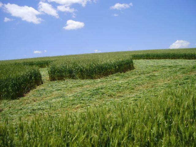 Desenho em lavoura de trigo aparece em Ipuaçu, no Oeste de Santa Catarina Jorge Dal Zot/Divulgação