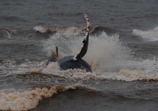 Equipes libertam baleia que ficou encalhada na beira da praia em Capão Novo Ronaldo Bernardi/