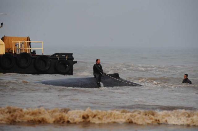 Desencalhe de baleia jubarte viva é o primeiro dos últimos 10 anos no país, aponta instituto  Ronaldo Bernardi/