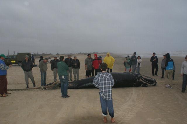Baleia franca encontrada em Arroio do Sal será enterrada na tarde de hoje   Luiz Viana/