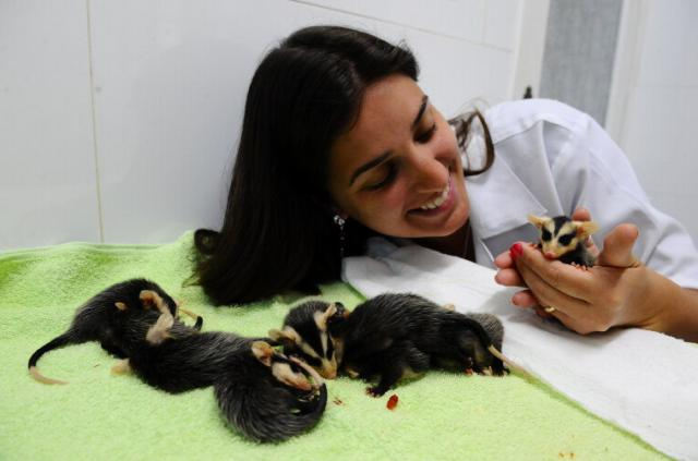 Clínica Veterinária acolhe e trata de mais de 40 filhotes de gambá em Porto Alegre Ronaldo Bernardi /